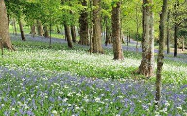 Bluebells-and-Wild-Garlic