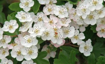 hawthorn flower.png