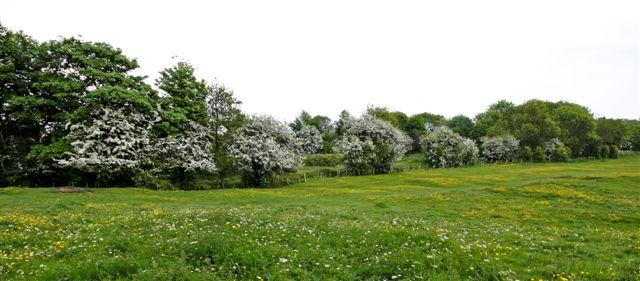 hedgrows hawthorns.jpg
