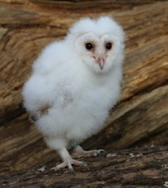 Baby-Barn-Owl-pic